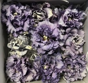 Preserved Lisianthus Purple