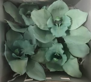 Preserved Cymbidium Green