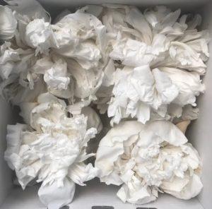 Preserved Peony White