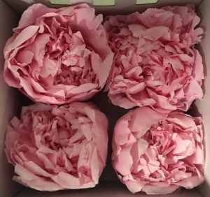 Preserved Peony Pink