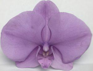 Phalaenopsis Preserved Purple Large