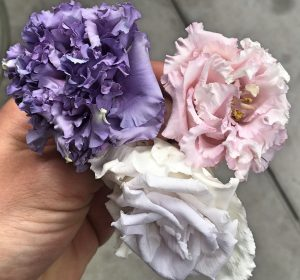 Three preserved Lisianthus Flowers